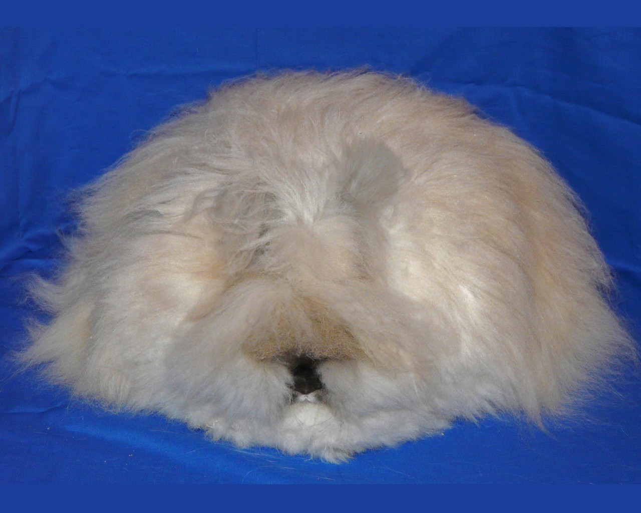 English Angora  MySmelly Animal Community