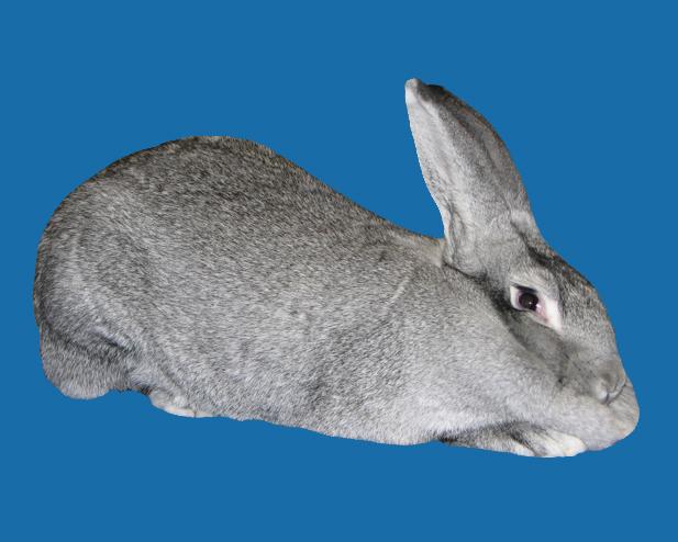 American Chinchilla Rabbit Colors Chinchilla Rabbit Colors
